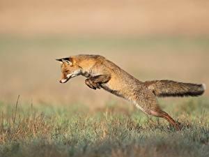 Fotos Füchse Gras Sprung ein Tier