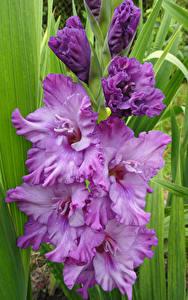 Hintergrundbilder Schwertblume Großansicht Violett Blumen