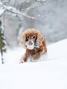 Fotos Winter Hund Schnee Laufsport Spaniel Bokeh Tiere