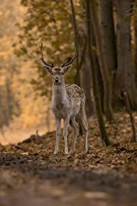 Fotos Hirsche Herbst Wälder Bokeh ein Tier