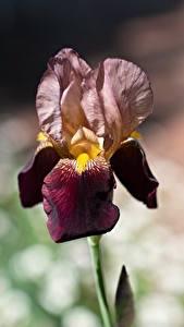 Bakgrundsbilder på skrivbordet Irissläktet Närbild Bokeh Blommor