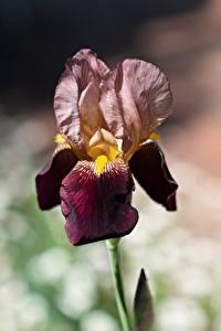 Fotos Schwertlilien Hautnah Bokeh Blumen