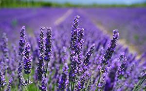 Bilder Lavendel Acker Blumen