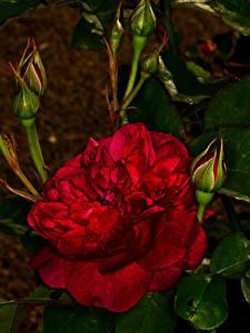 Hintergrundbilder Rosen Großansicht Knospe Rot Blumen