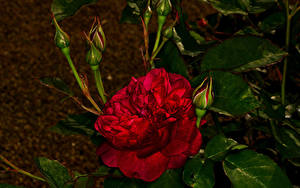 Picture Roses Closeup Flower-bud Red Flowers