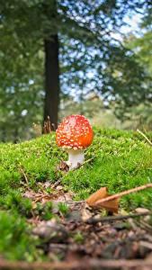 Bilder Pilze Natur Wulstlinge Unscharfer Hintergrund Laubmoose Natur