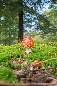 Bilder Pilze Natur Wulstlinge Unscharfer Hintergrund Laubmoose