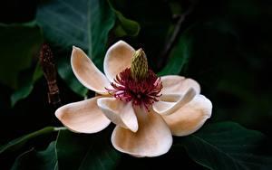 Fotos Großansicht Magnolien Blumen
