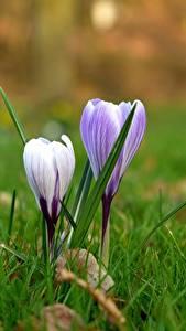 Bakgrundsbilder på skrivbordet Närbild Krokusar Gräset Lila färg Blommor