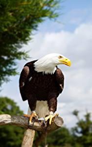 Bilder Vogel Adler Weißkopfseeadler Ast Blick