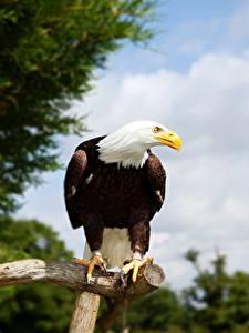 Bilder Vogel Adler Weißkopfseeadler Ast Blick ein Tier