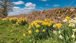 Bilder Narzissen Viel Blumen