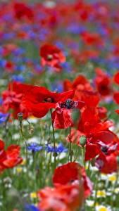 Hintergrundbilder Mohn Acker Großansicht Blumen