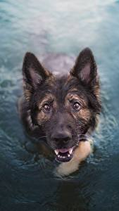 Photo Dog German Shepherd Water Swimming Animals