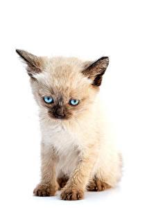 Fotos Katze Weißer hintergrund Katzenjunges