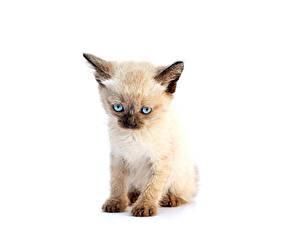 Fotos Katze Weißer hintergrund Katzenjunges Tiere
