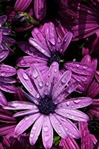 Fotos Nahaufnahme Kapkörbchen Violett Blüte Blumen