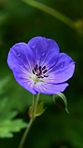Desktop hintergrundbilder Storchschnäbel Bokeh Blau Blumen