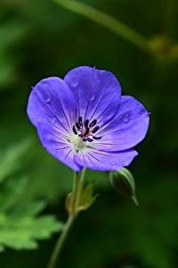 Hintergrundbilder Storchschnäbel Bokeh Blau Blumen