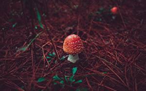 Bilder Pilze Natur Wulstlinge Rot Natur