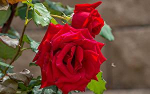 Hintergrundbilder Rosen Großansicht Rot Zwei Blumen