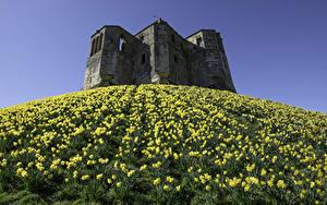 Fotos England Burg Ruinen Narzissen Hügel Warkworth Castle
