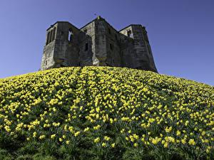 Fotos England Burg Ruinen Narzissen Hügel Warkworth Castle Städte