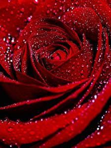 Hintergrundbilder Rosen Hautnah Makro Tropfen Rot Blüte