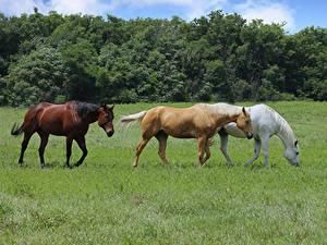 Fotos Pferd Grünland Drei 3 Gras Tiere
