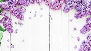 Fotos Syringa Bretter Blumen