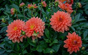 Hintergrundbilder Georginen Großansicht Rosa Farbe Knospe Blumen