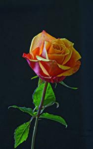 Fotos Rose Großansicht Schwarzer Hintergrund Blumen