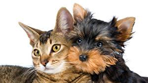 Fotos Katze Hunde Weißer hintergrund 2 Yorkshire Terrier Blick Tiere