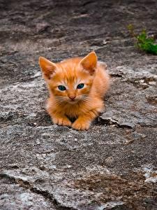 Bilder Hauskatze Orange rot Kätzchen
