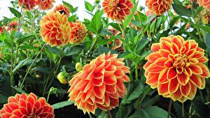 Bilder Dahlien Großansicht Knospe Orange Blumen