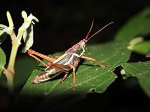 Bilder Heuschrecken Großansicht Insekten Blattwerk Tiere