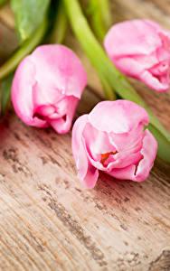 Hintergrundbilder Tulpen Nahaufnahme Bretter Rosa Farbe Blumen