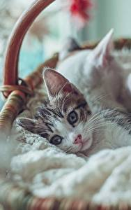 Hintergrundbilder Katze Katzenjunges Weidenkorb