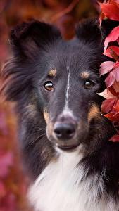 Fotos Hunde Collie Starren Schnauze Tiere