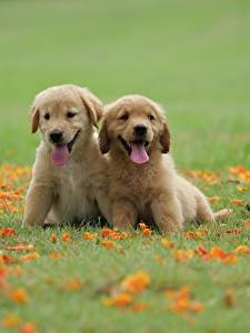 Picture Dogs Golden Retriever Two Grass Puppy Tongue Animals