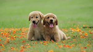 Bilder Hund Golden Retriever Zwei Gras Welpe Zunge ein Tier