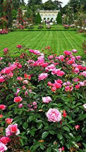 Fotos Frankreich Garten Rosen Paris Rasen Strauch Bagatelle Rose Garden Natur