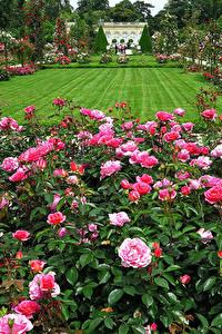 Fotos Frankreich Garten Rosen Paris Rasen Strauch Bagatelle Rose Garden