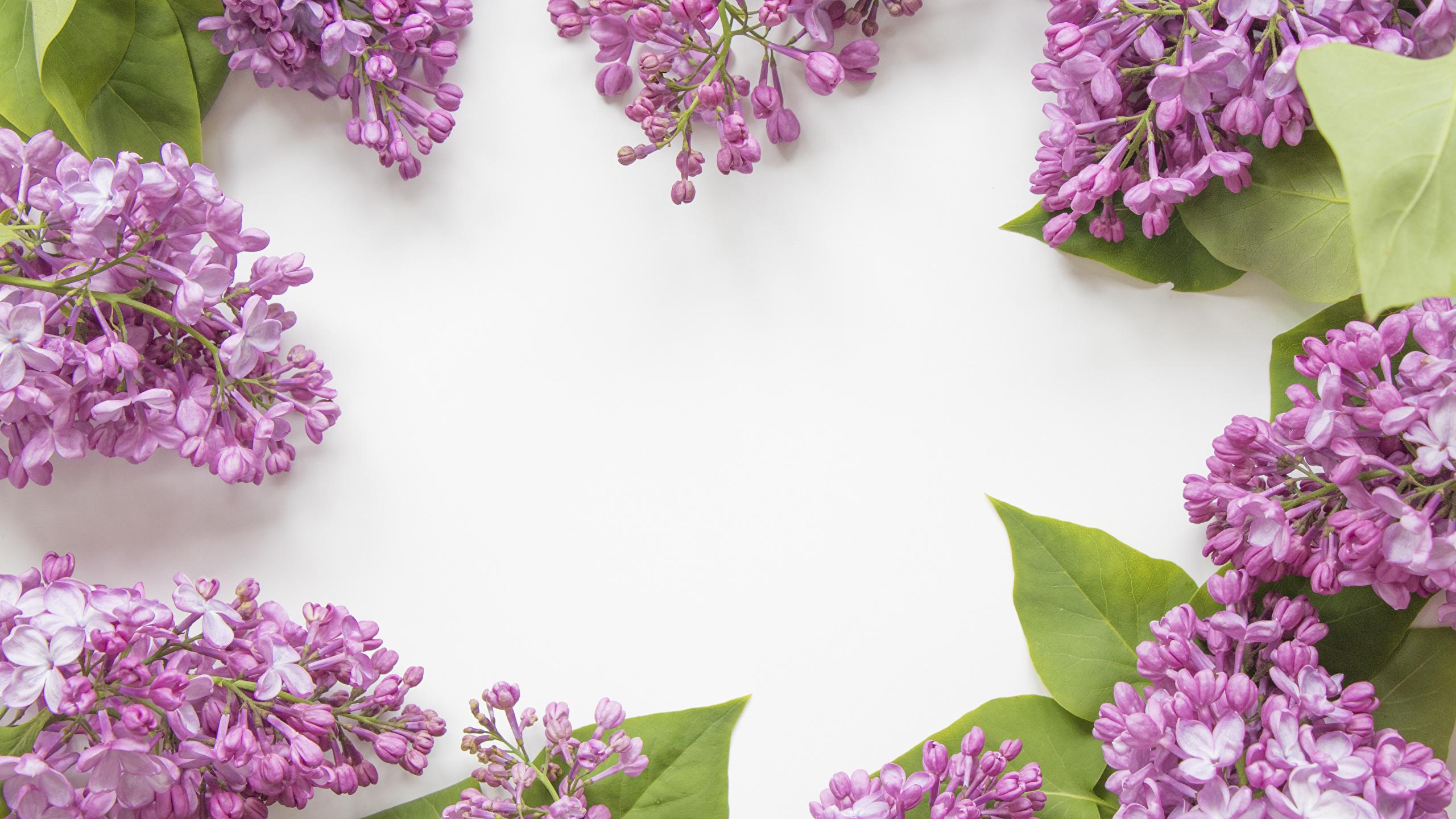 Fonds Decran 2560x1440 Syringa Fond Blanc Branche Fleurs