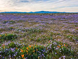 Bilder Vereinigte Staaten Felder Mohnblumen Grünland Kalifornien Gilia tricolor