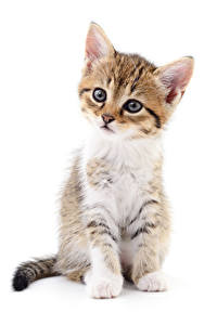Picture Cats White background Kittens Staring Sitting Animals
