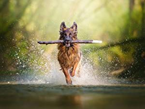 Bilder Hunde Lauf Spritzer Shepherd