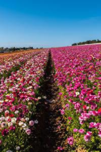 Fotos USA Felder Hahnenfuß Viel Kalifornien Mehrfarbige Blumen