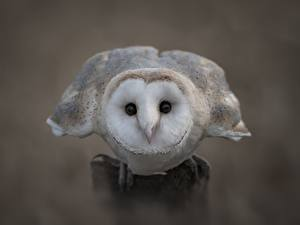 Fotos Vögel Großansicht Eulen Barn owl Tiere