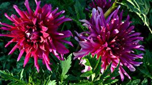 Fotos Georginen Großansicht 2 Blüte